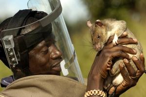 Ratas entrenadas por APOPO. / X.Rossi.-